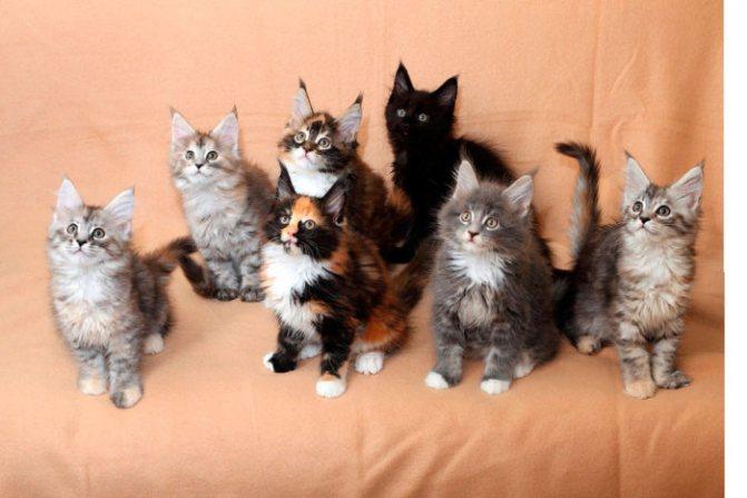 семь котят мейн кун