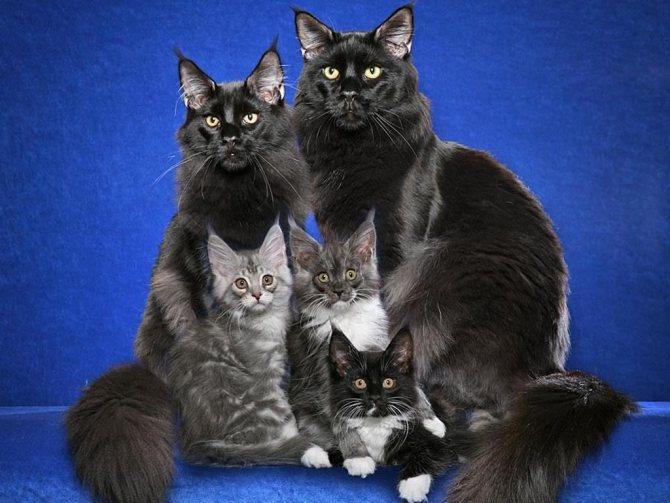 Семейство мейн кунов