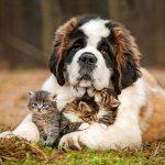 Сенбернар и котята