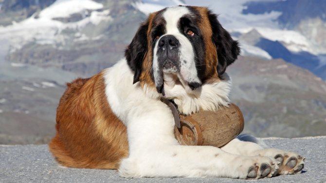 сенбернар преданный пёс
