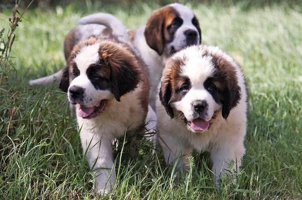 Сенбернар-собака-Описание-особенности-уход-и-содержание-сенбернара-16