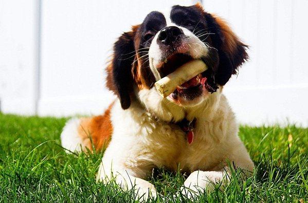 Сенбернар-собака-Описание-особенности-уход-и-содержание-сенбернара-19