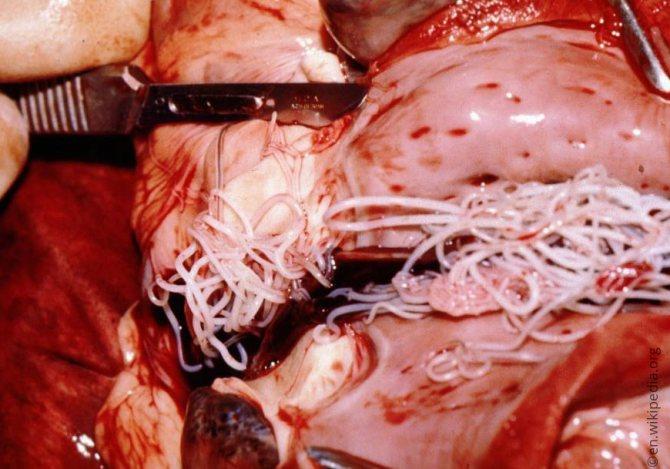 Сердечные черви в сердце собаки