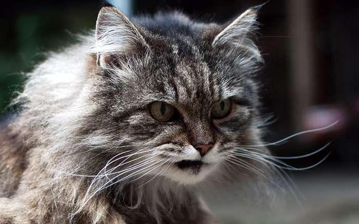 Сердитый кот, фото фотография