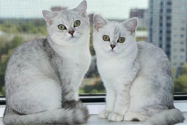 Серебристая-шиншилла-кошка-Описание-особенности-уход-и-содержание-породы-10