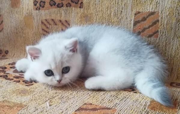 Серебристая-шиншилла-кошка-Описание-особенности-уход-и-содержание-породы-13