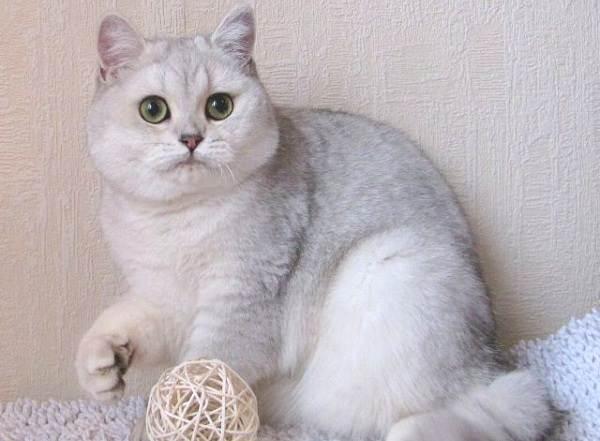 Серебристая-шиншилла-кошка-Описание-особенности-уход-и-содержание-породы-2