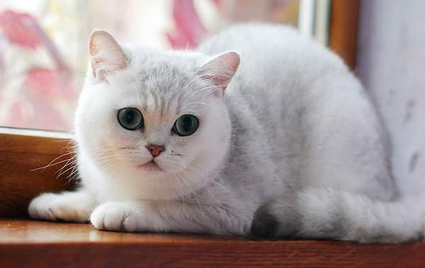 Серебристая-шиншилла-кошка-Описание-особенности-уход-и-содержание-породы-3