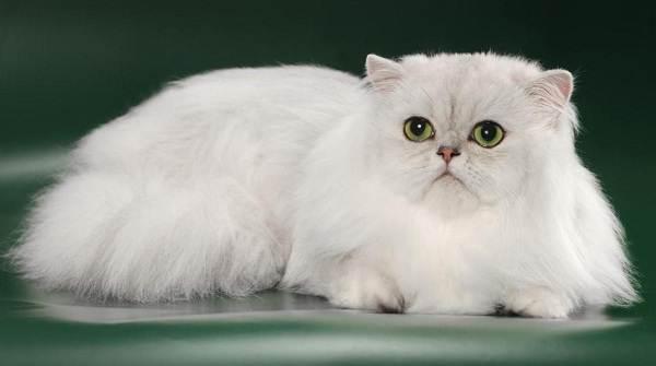 Серебристая-шиншилла-кошка-Описание-особенности-уход-и-содержание-породы-4