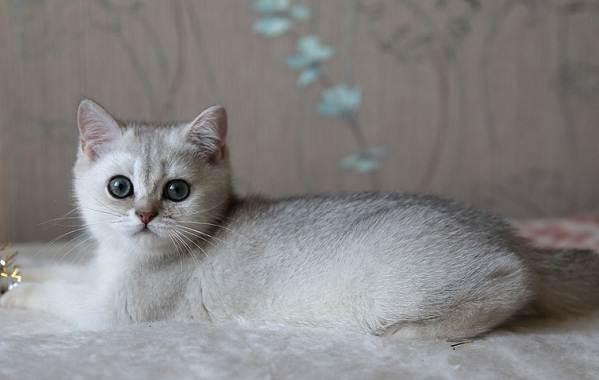 Серебристая-шиншилла-кошка-Описание-особенности-уход-и-содержание-породы-5
