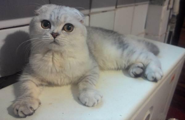 Серебристая-шиншилла-кошка-Описание-особенности-уход-и-содержание-породы-7