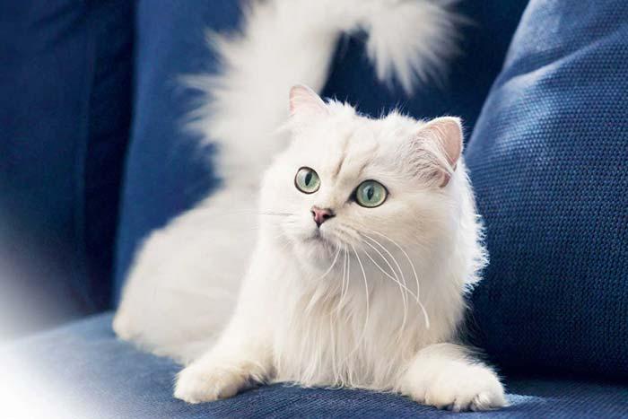 Серо белая кошка приметы