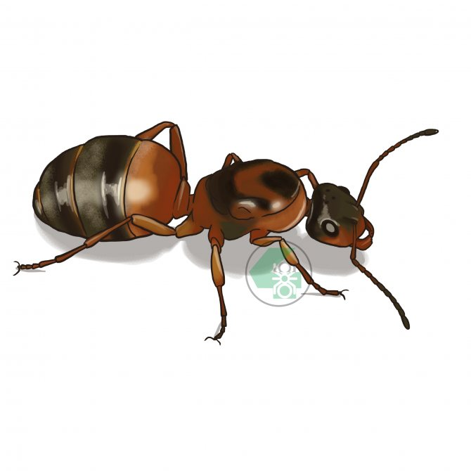 Serviformica rufibarbis (краснощекий муравей-минер)
