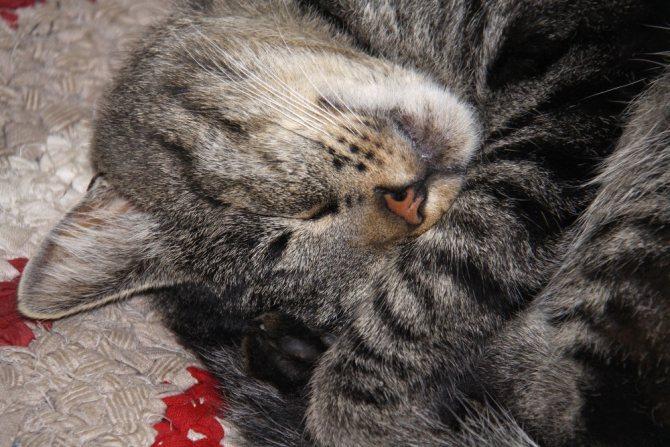 Серый полосатый кот - описание и фото породы