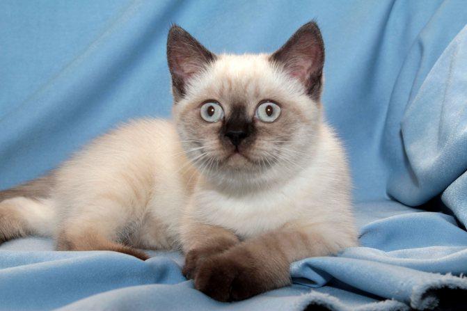 Серый тайский кот.