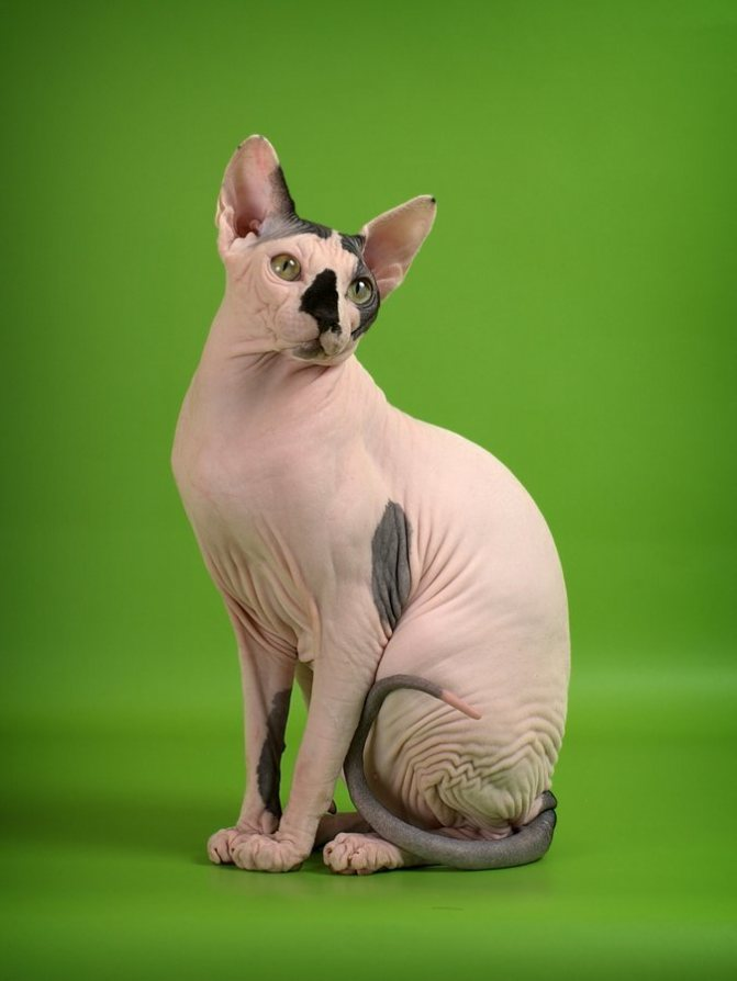 Сфинксы отличаются от других кошек высоким интелектом