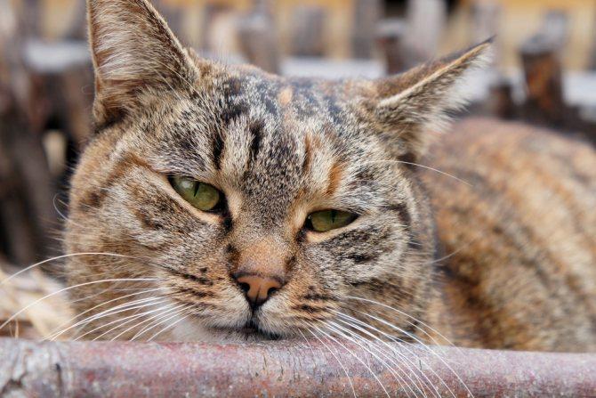 Шарик под кожей у кошки