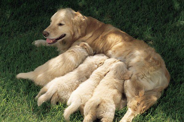 щенки и мать