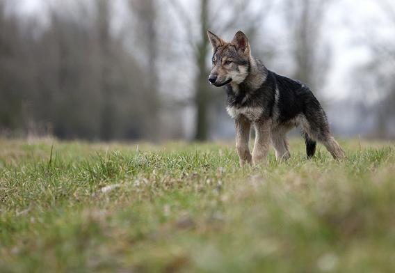щенки волчья собака