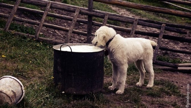 Щенку дают молоко