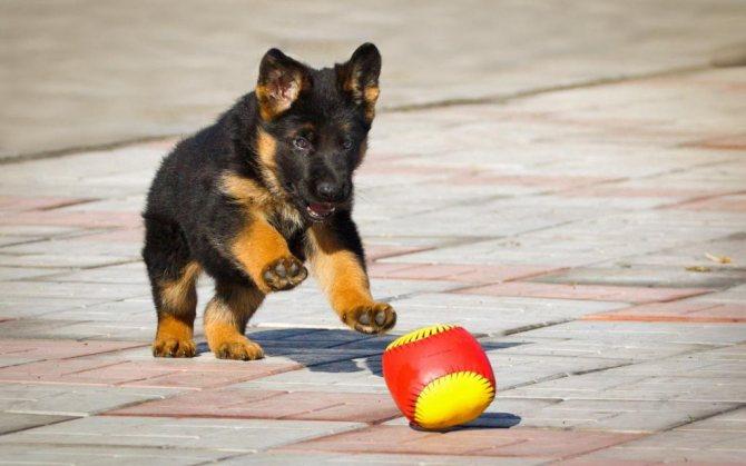 Щенок бежит за мячиком
