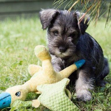 щенок Цвергшнауцер