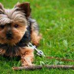 щенок йоркширкого терьера
