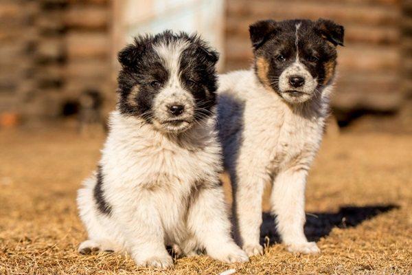 щенок, как выбрать щенка, выбор щенка, как правильно выбрать щенка, по каким критериям выбирать щенка, приобретение щенка, содержание щенка, осмотр щенка