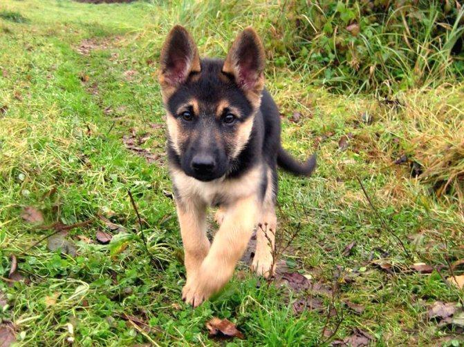 щенок немецкой овчарки 2 месяца фото