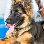 щенок немецкой овчарки на приеме у ветеринара