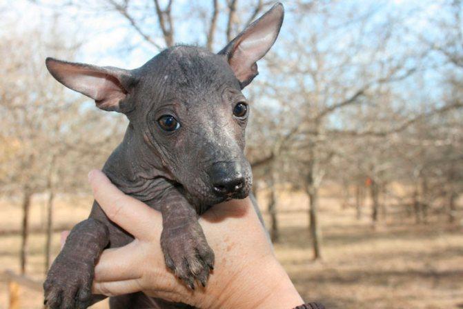 щенок Перуанская голая собака