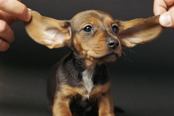Щенок с большими ушами