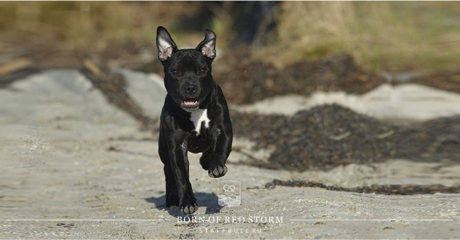 щенок стаффордширского бультерьера