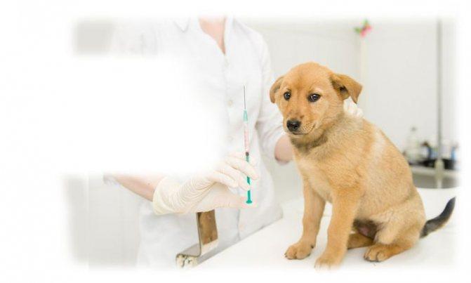 Щенок у ветеринара