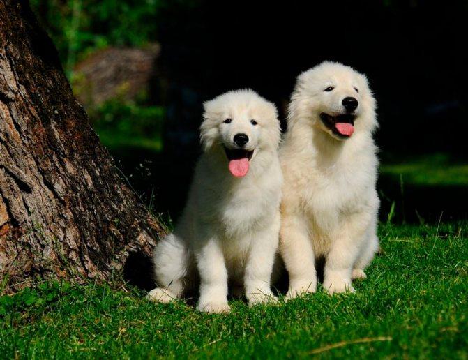 щеноки породы Мареммо-абруцкая овчарка