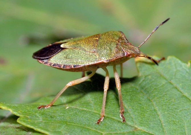 Щитник зеленый древесный (Palomena prasina).