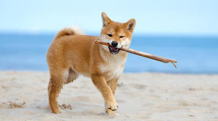 шелти собака