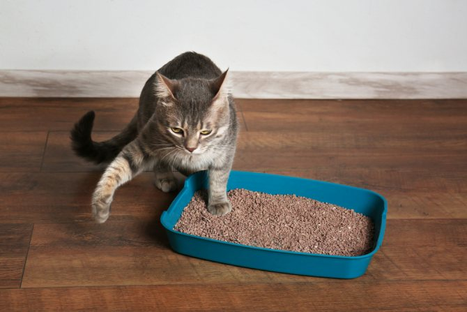 Схема приучения кошки к лотку