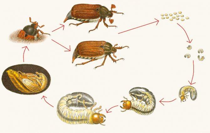 Схема развития майского жука - от яиц и личинки до взрослой особи