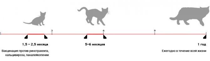 Схема вакцинации котят от рождения до года
