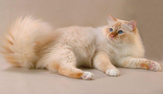 Шерстка и окрас бирманских кошек