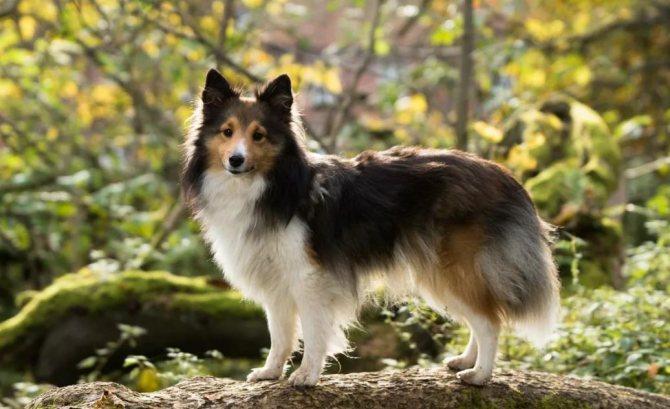 шетландская овчарка на фото