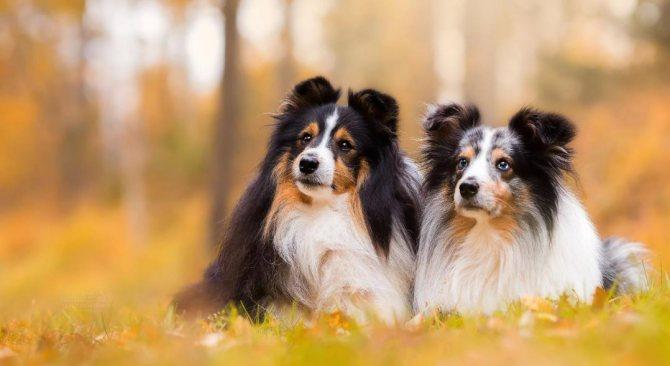 шетландские овчарки