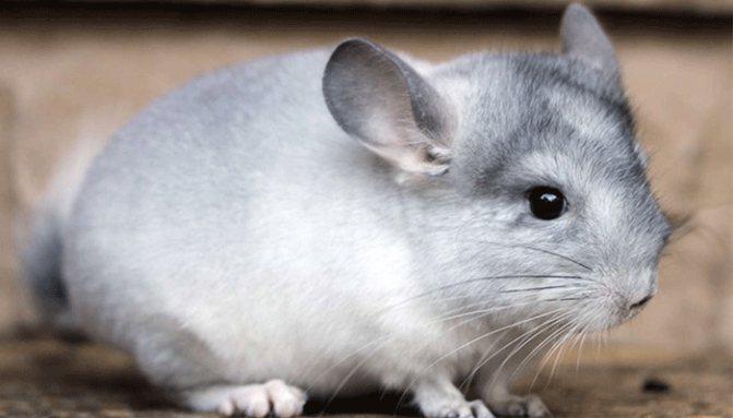 Шиншилла – между зайцем и мышью