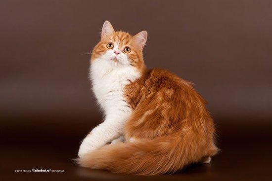 Шотландская длинношерстная кошка (хайленд страйт) фото 1