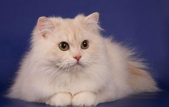 Шотландская длинношерстная кошка (хайленд страйт) фото 2