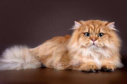 Шотландская длинношёрстная кошка с прямыми ушами