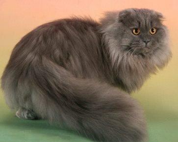 Шотландская длинношёрстная кошка