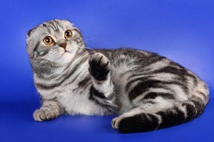 Шотландская короткошёрстная кошка с висячими ушами