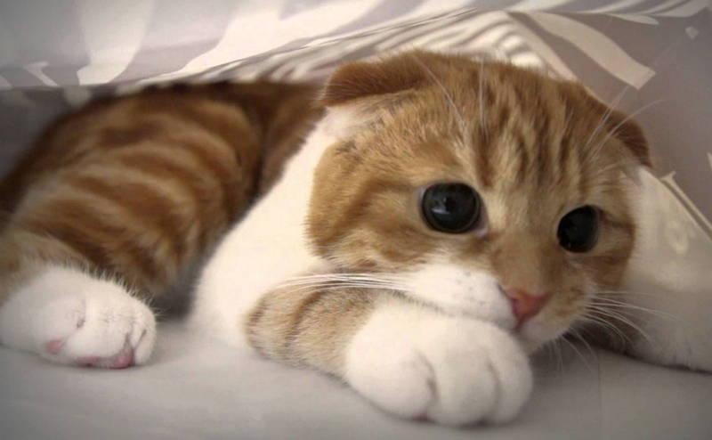 Шотландская вислоухая кошка: болезни породы